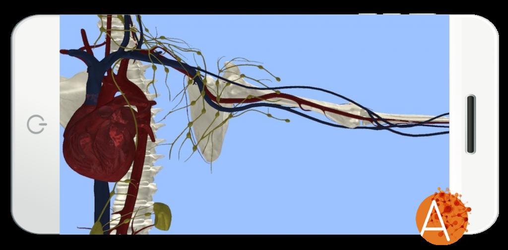 Anatomyou VR - Circulatory System - External View